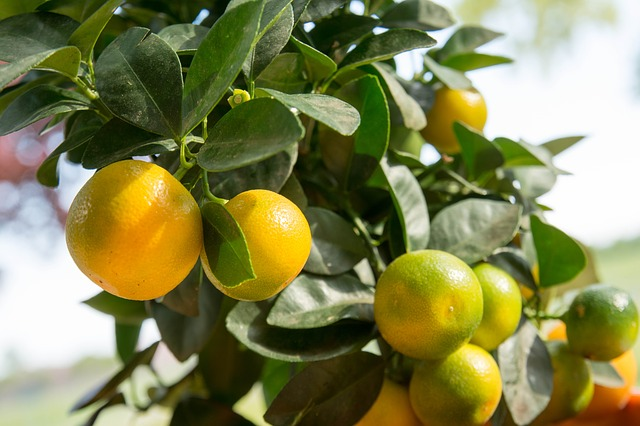 Benefits of Calamansi on Skin