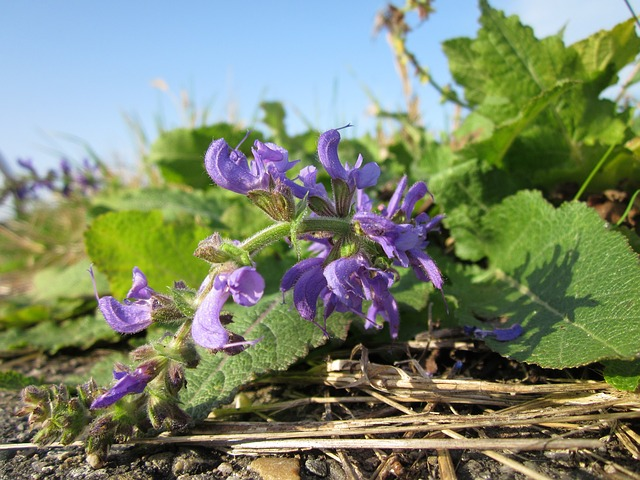 clary sage for acne