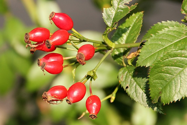 Rosehip Oil for Oily Skin