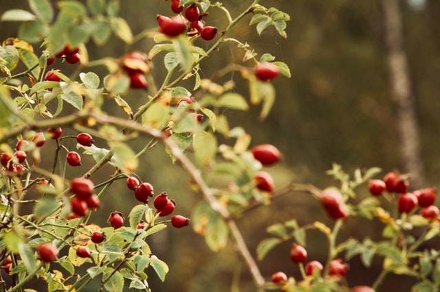 rosehip oil for eczema