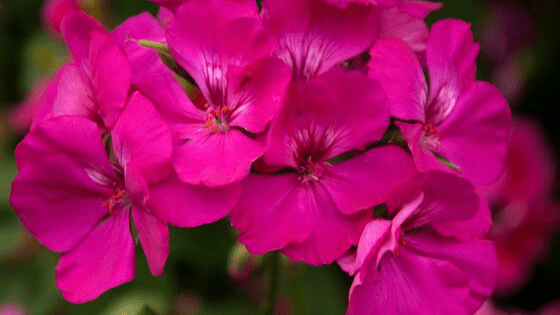 geranium oil for adrenal fatigue