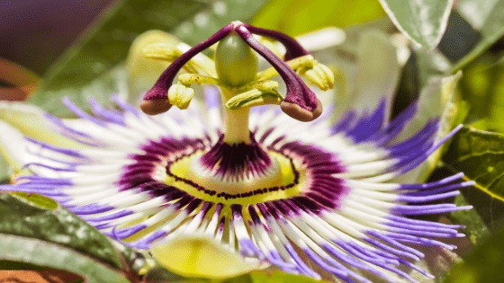 passion flower for anger and anxiety