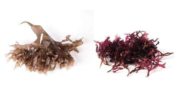 what does sea moss look like